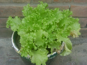 My Salad leaves